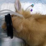 Сколько стоит кастрировать декоративного кролика?