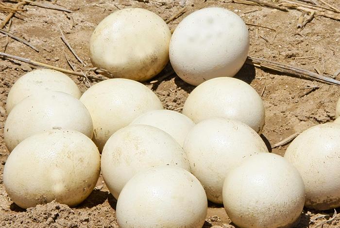 Много страусиных яиц
