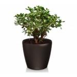 Сколько стоит денежное дерево?