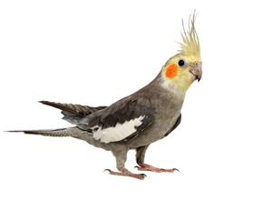 Сколько стоит попугай корелла и где его можно купить?