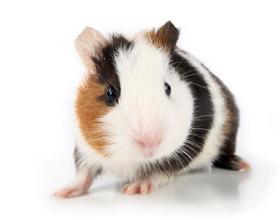 Сколько стоит морская свинка и где ее купить?