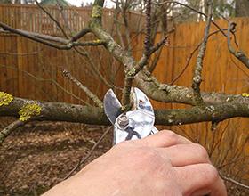 Сколько стоит обрезка плодовых деревьев?
