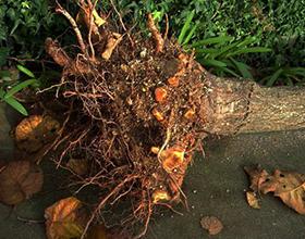 Сколько стоит выкорчевать деревья на участке?
