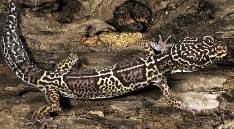 Западно-индийский геккон
