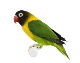 Сколько стоит попугай Неразлучник и от каких факторов зависит стоимость