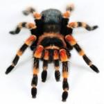 Сколько в среднем по России стоит паук-птицеед
