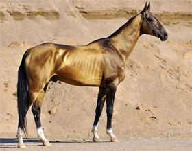 Сколько стоит Ахалтекинская лошадь и от чего зависит стоимость