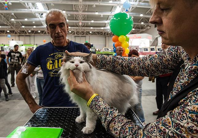 Осмотр кошки на выставке