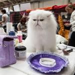 Во сколько обойдется участие в выставке кошек