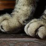 Сколько в среднем стоит удаление когтей у кошки?