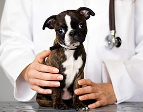 Сколько в среднем стоит чистка параанальных желез у собаки?