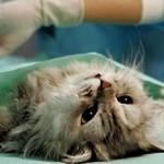 Удаление пиометры у кошки: цена и особенности